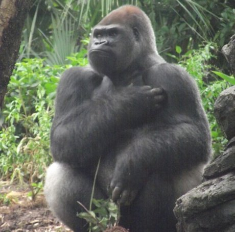 Gorilla trades fourth of july